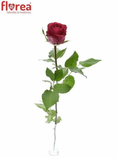 ROSA MADAM CERISE 50cm (M)