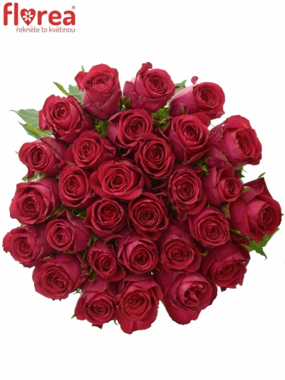 Růžová růže MADAM CERISE 60CM (XL)