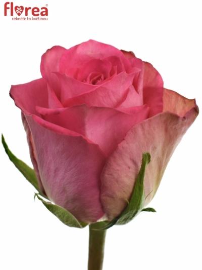 Růžová růže MADAM PINK