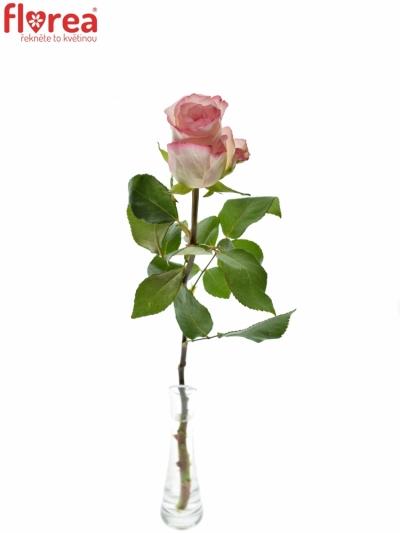 ROSA MALIBU 80cm (M)