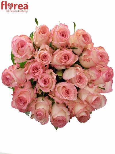Růžová růže MALIBU