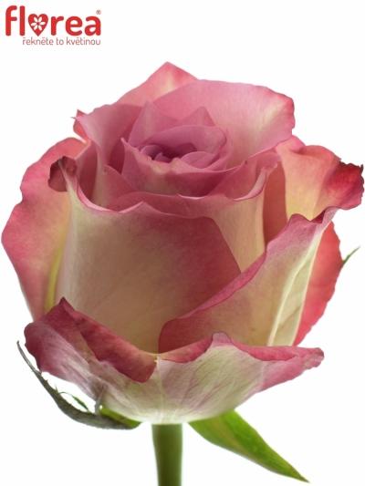 Růžová růže MELINA 70cm (XL)
