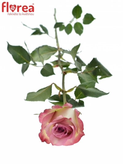 ROSA MELINA 70cm (M)