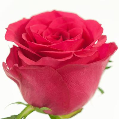 Růžová růže MEMORY