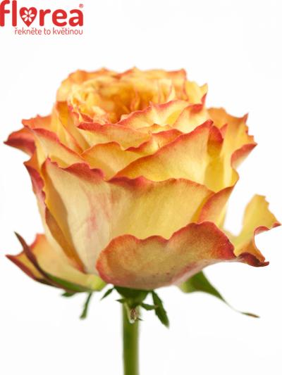ROSA MIRACULOUS 70cm (XXL)