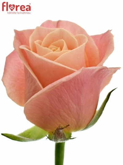 Růžová růže MISS PIGGY+ 80cm