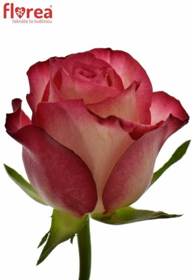 Růžová růže MYSTELLE 60cm