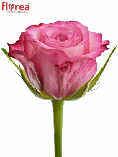 Růžová růže N-JOY 60cm