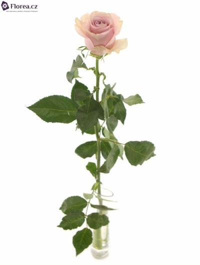 ROSA NAUTICA 80cm (XL)