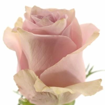 Růžová růže NAUTICA