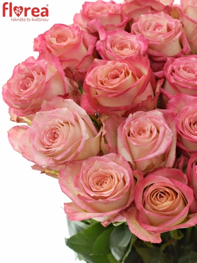 Růžová růže NAVARRA 60cm