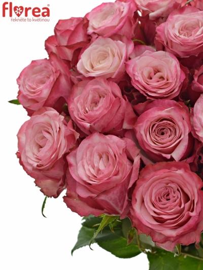 Růžová růže NO LIMIT 50cm (L)