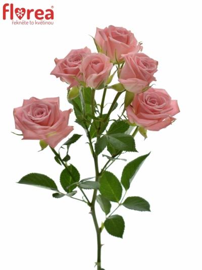 Růžová růže ODILIA 60cm/5+