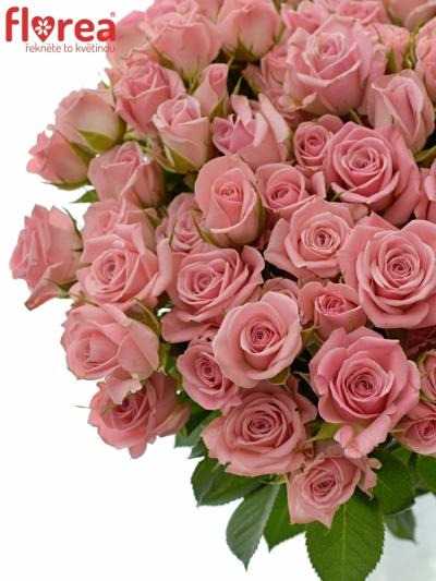 Růžová růže trsová ODILIA 40cm/5+