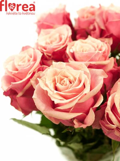 Růžová růže OOPS 50cm