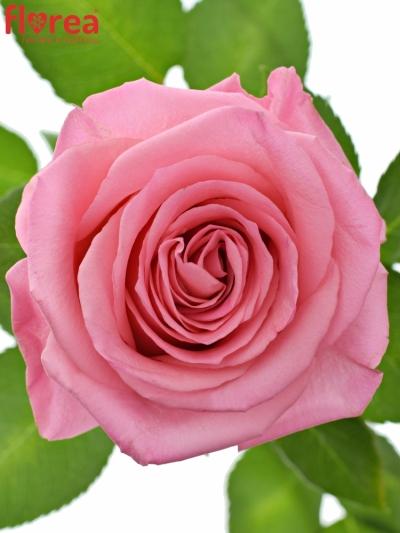 ROSA OPALA 50cm (M)