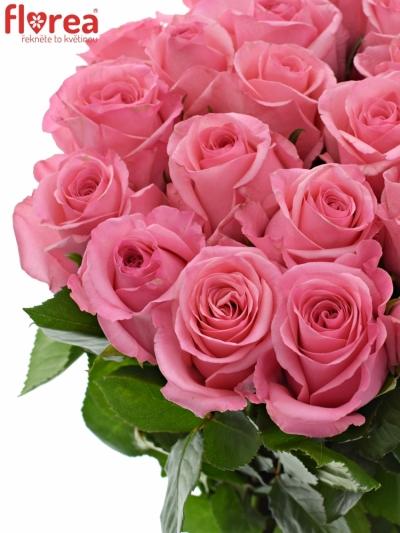 Růžová růže OPALA 60cm (M)