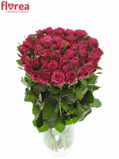 Růžová růže ORCHESTRA 70cm