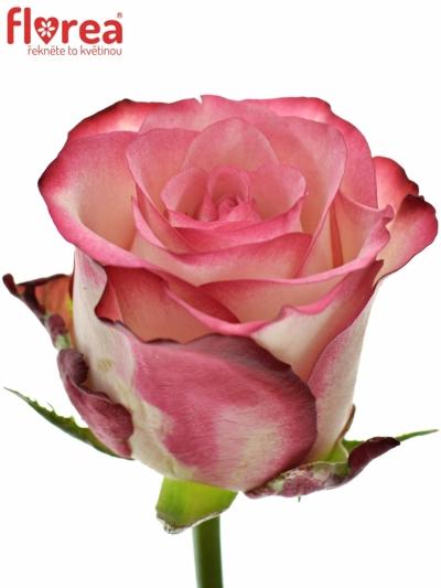 Růžová růže PALOMA 60cm (L)