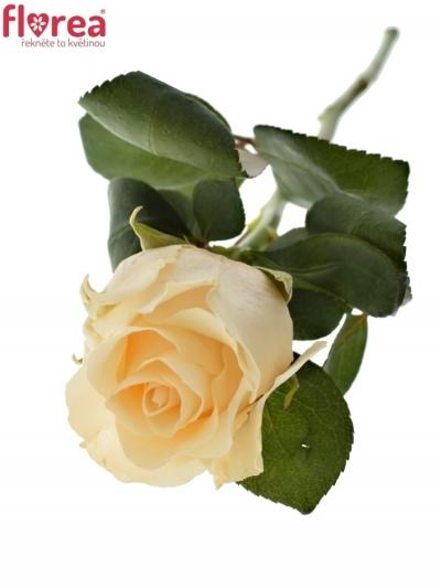 Růžová růže PEACH TACAZZI