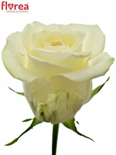 Růžová růže PEGASSO