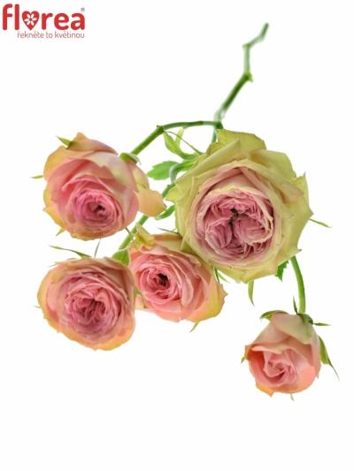 Růžová růže PEPITA 70cm/7+