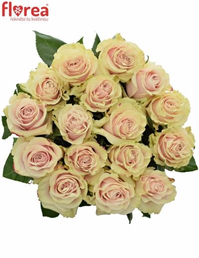 Růžová růže PINK  MONDIAL 80cm (XXL)