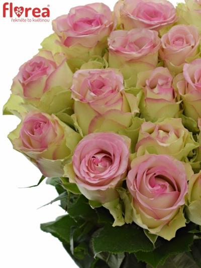 Růžová růže PINK JOURNEY 70cm (L)