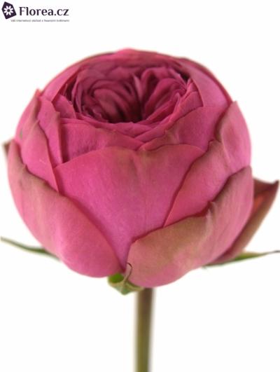 ROSA TR PINK PIANO FREILAND 25cm/5+
