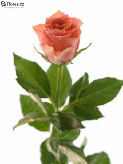 ROSA PINK POP 60cm