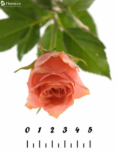 Růžová růže PINK POP