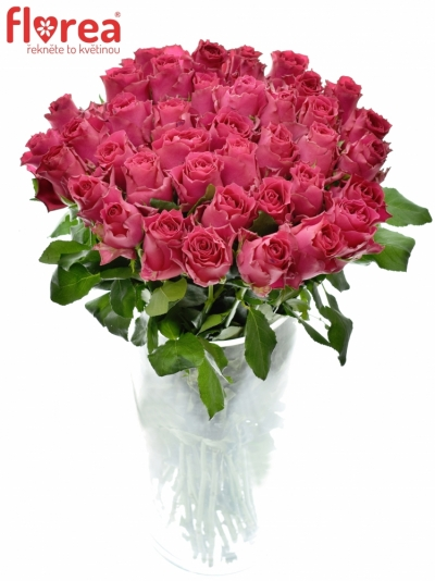 Růžová růže PINK RHODOS