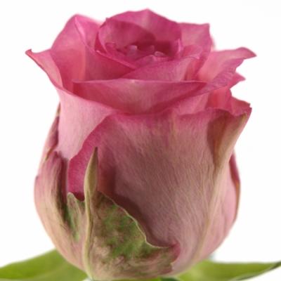 Růžová růže PINK SUDOKU