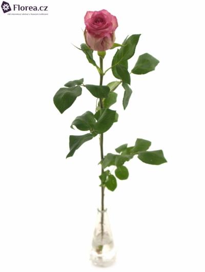 ROSA PINK SUDOKU 80cm