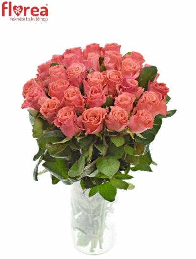 Růžová růže PINK TACAZZI+ 50cm (M)