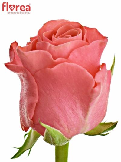 Růžová růže PINK TACAZZI+ 40cm (M)