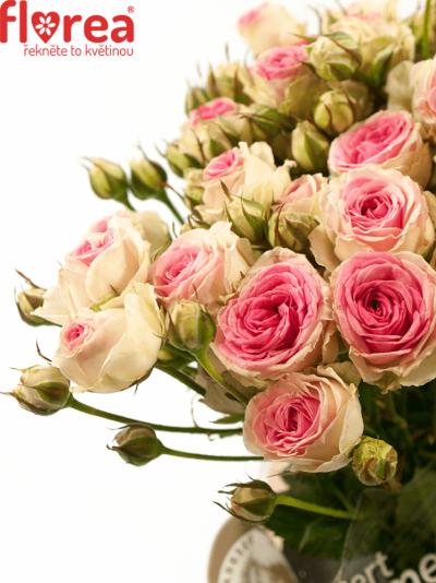 Růžová růže PINK TWISTER 40cm/4+