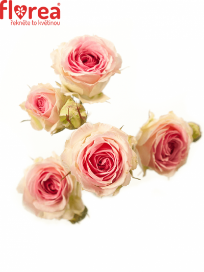 ROSA TR PINK TWISTER 40cm/4+