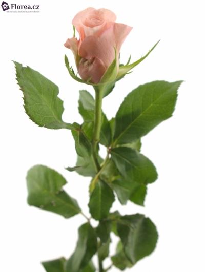 ROSA KL POEME! 50cm (S)