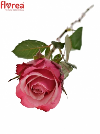 Růžová růže POMPIDOU 50cm (L)