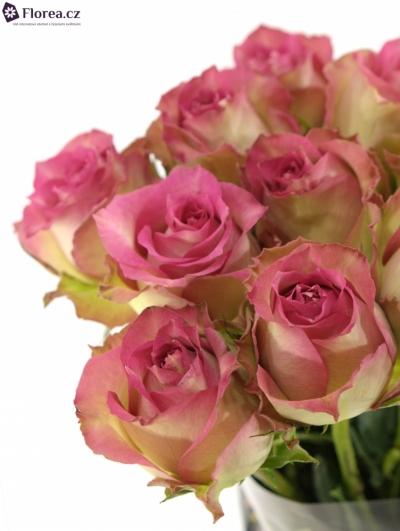 Růžová růže REFLECTION