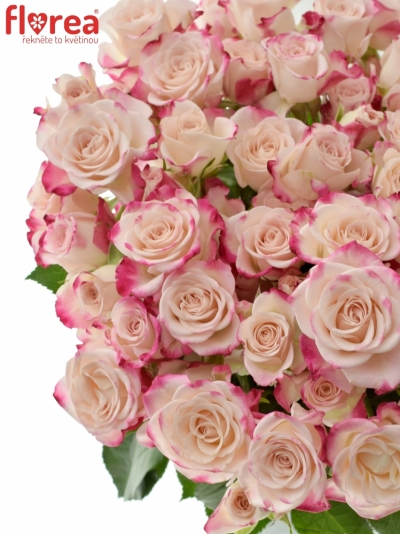 Růžová růže trsová REFLEX 40cm/5+