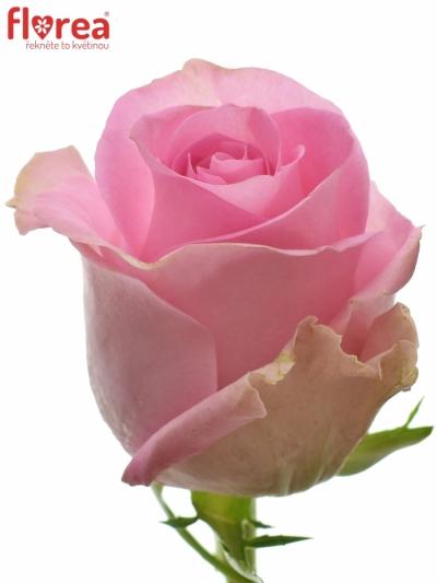 Růžová růže REVIVAL 70cm (XXL)