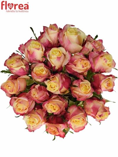 Růžová růže RIGOLETTO 50cm (L)