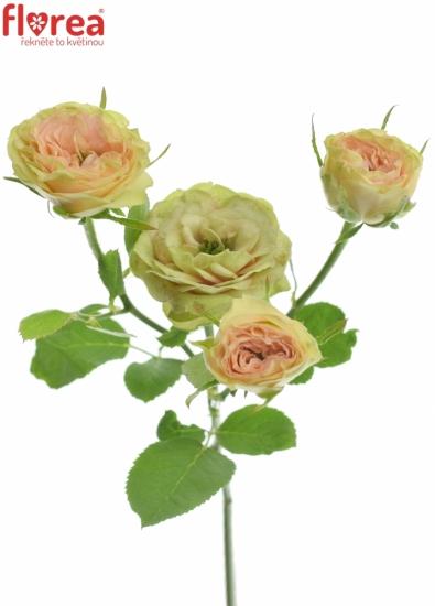 Růžová růže ROMANTIC PEPITA 30cm/4