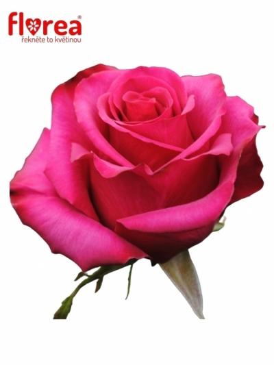 Růžová růže ROSEBERRY 50cm (L)