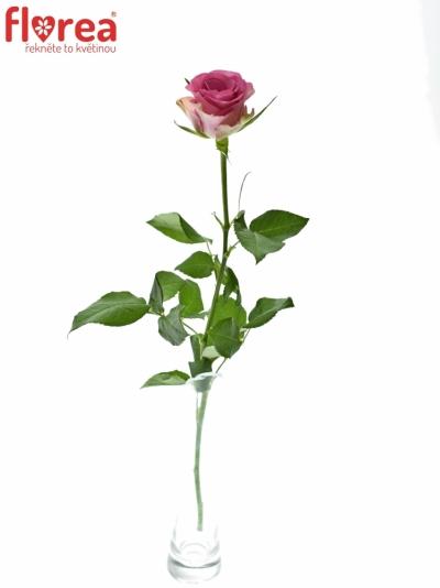 ROSA ROYAL JEWEL 50cm (M)