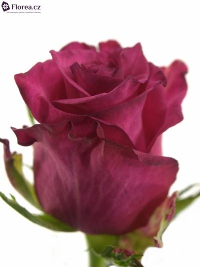 Růžová růže SANAA+
