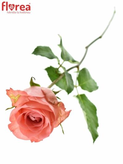Růžová růže SANCARA 50cm (XL)