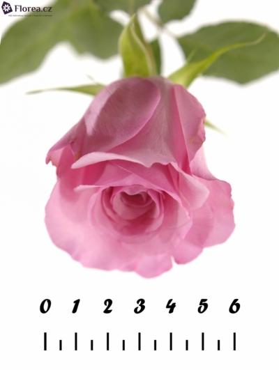 Růžová růže SANOLI 70cm
